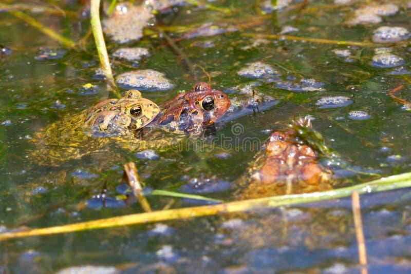 Download American Toads (Bufo Americanus) Royalty Free Stock Photo - Image: 23122335
