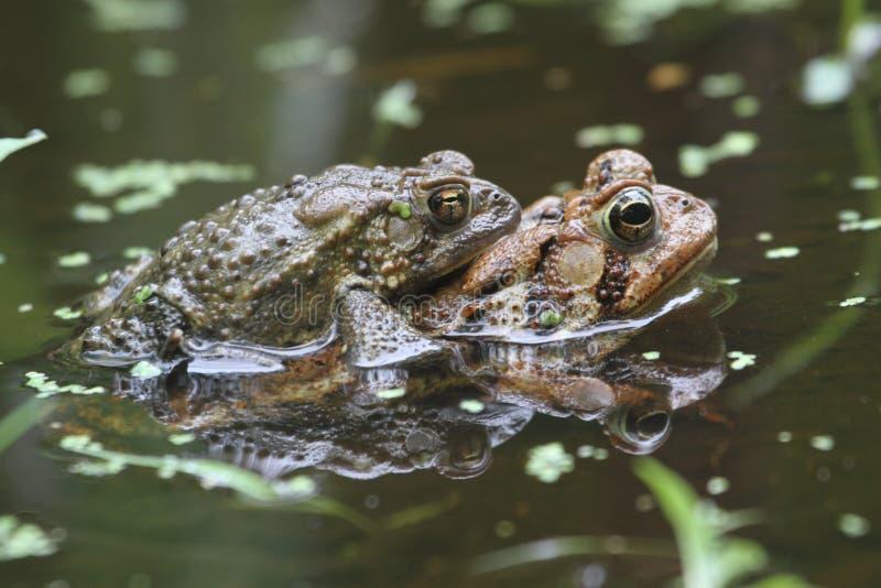 American Toads (Bufo americanus) Mating royalty free stock image