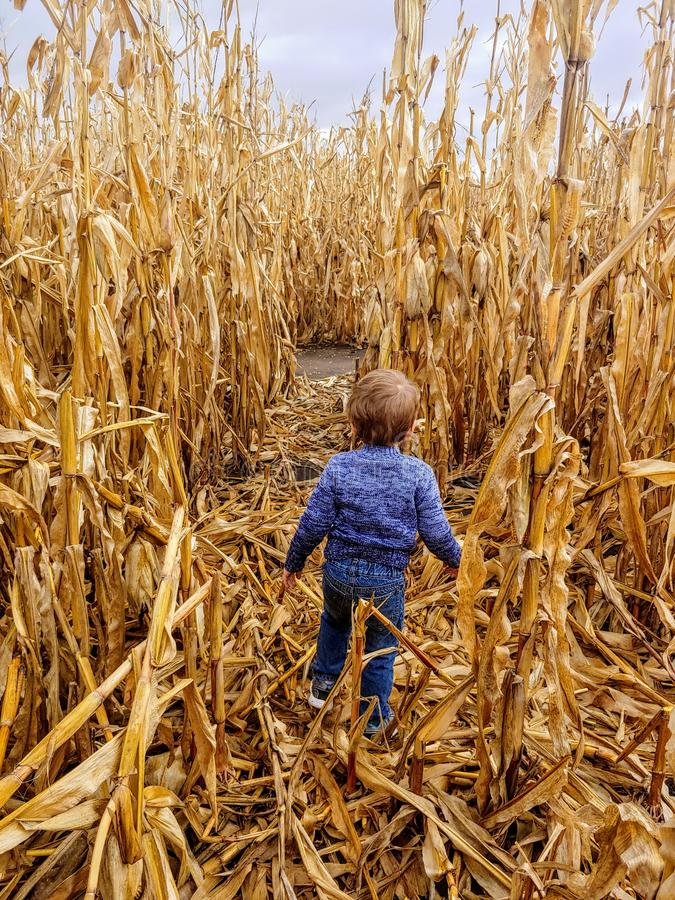 American toddler boy in blue sweater playing in corn stalks. royalty free stock images