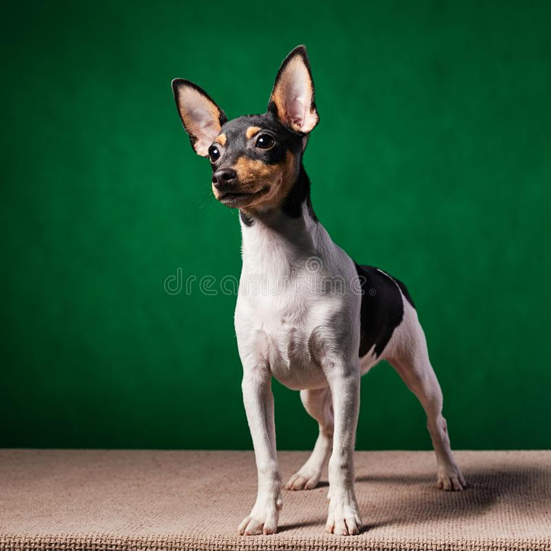 American toy fox terrier royalty free stock image