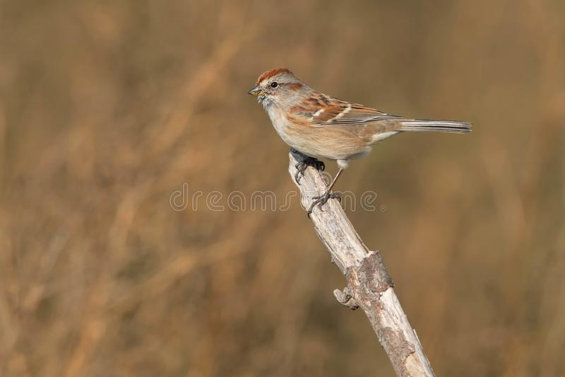 American Tree Sparrow. Perched on a dead branch stock photo