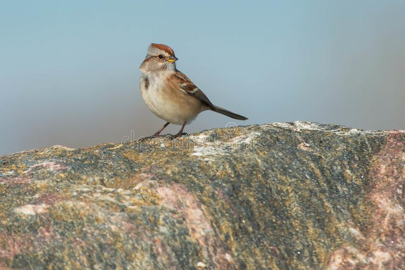 American Tree Sparrow. Standing on a large rock royalty free stock photography