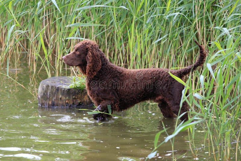 American Water-Spaniel in einem Fluss stockfotografie