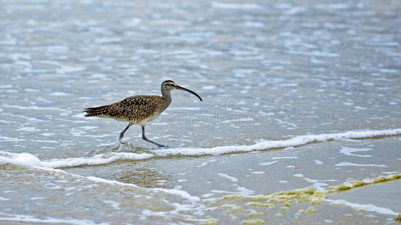 American Whimbrel (Numenius phaeopus) stock photo
