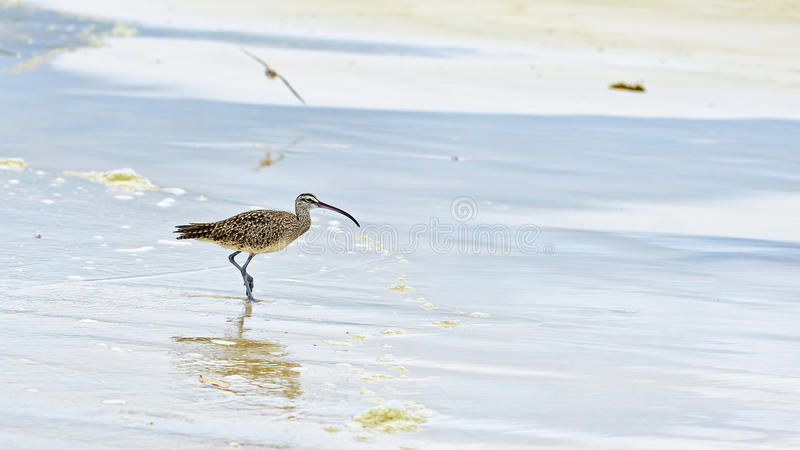 American Whimbrel (Numenius phaeopus) royalty free stock image