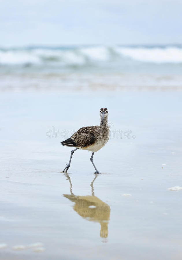 American Whimbrel (Numenius phaeopus) royalty free stock photos