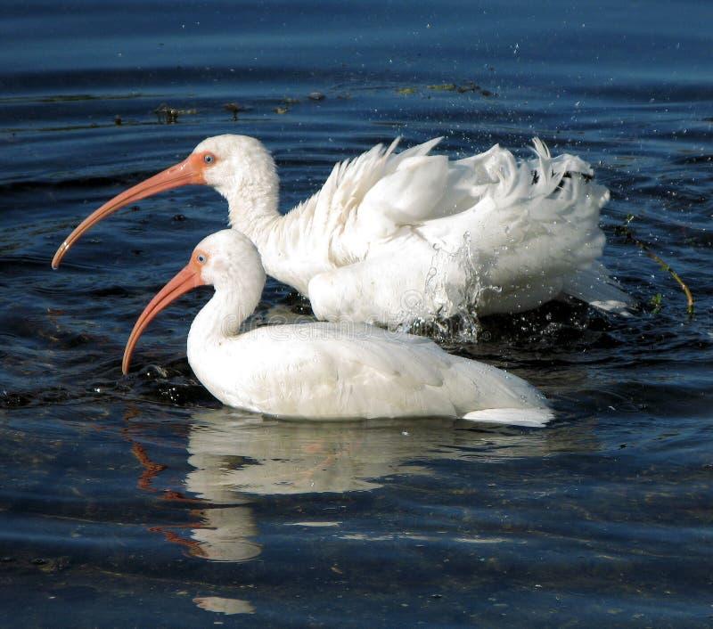 American White Ibis bathing stock image