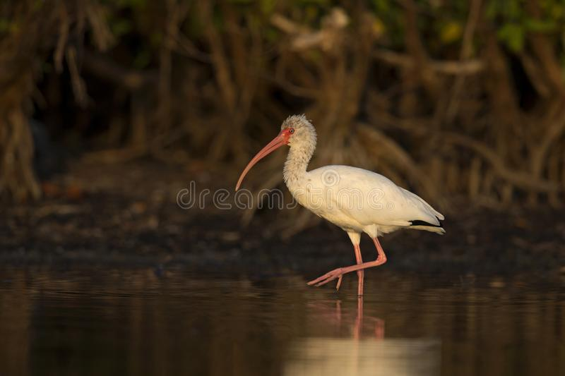 The American white ibis Eudocimus albus foraging and catching crabs in a pond at Fort Meyers Beach. stock photography
