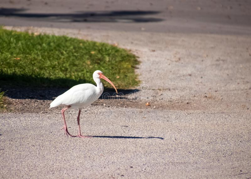 American white ibis (Eudocimus albus) walking through parking lot in FL park. With open space stock photography