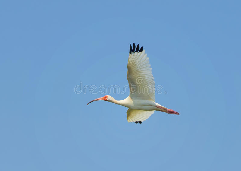 American White Ibis in flight. Pictured is an American White Ibis flying from the rookery on the campus of UTSouthwestern Medical School in Dallas, Texas. The royalty free stock image