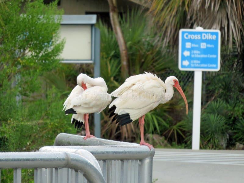 American white ibis in wildlife refuge in Florida stock photo