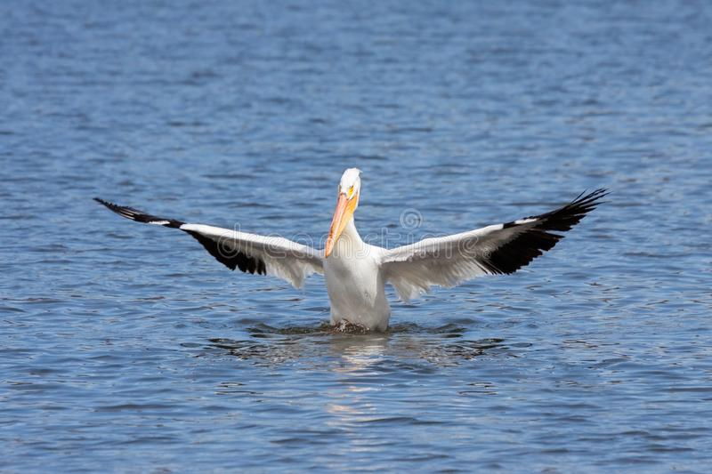 American white pelican genuflects in a lake royalty free stock images