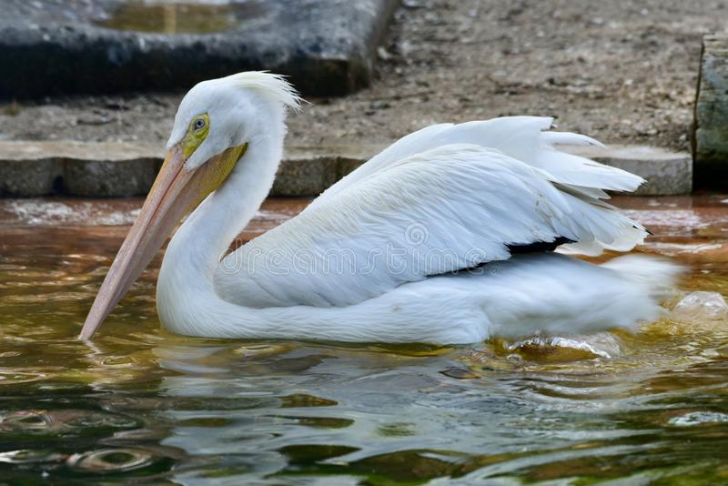 An American White Pelican stock image