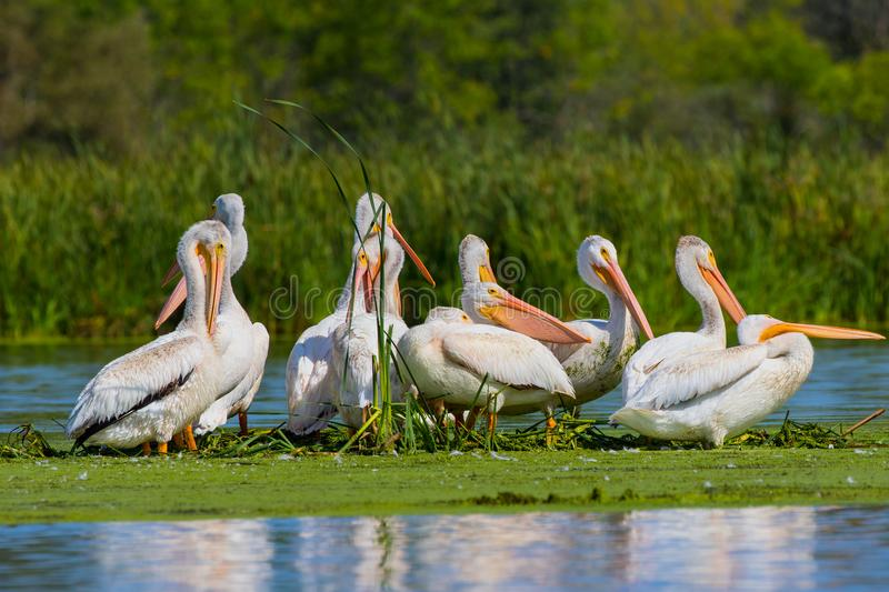 American white pelican in small island in lake.Wisconsin wild refugee. American white Pelicans Pelecanus erythrorhynchos resting after hunting in Wisconsin royalty free stock image
