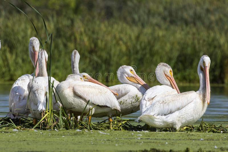 American white pelican in small island in lake.Wisconsin wild refugee. American white Pelicans Pelecanus erythrorhynchos resting after hunting in Wisconsin stock photos