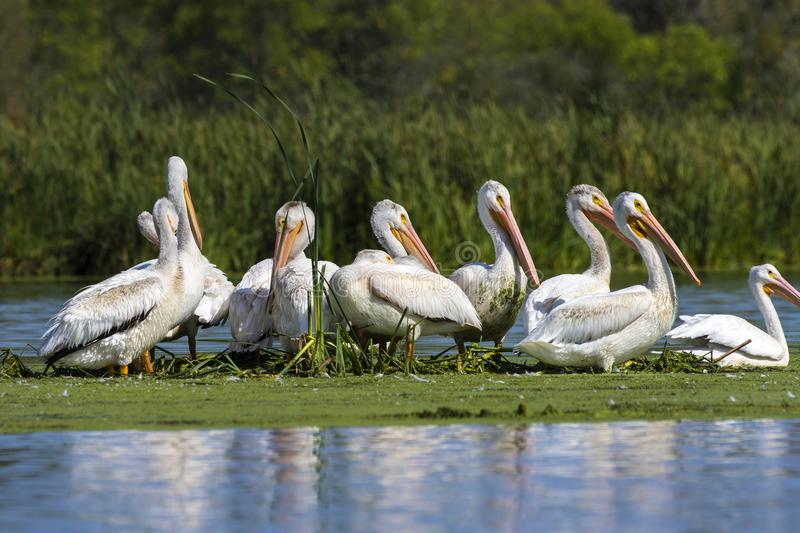 American white pelican in small island in lake.Wisconsin wild refugee. American white Pelicans Pelecanus erythrorhynchos resting after hunting in Wisconsin stock photo