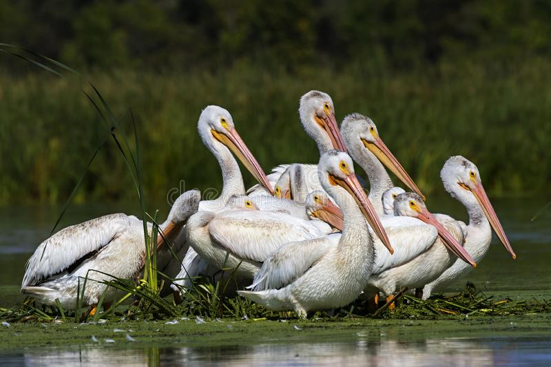 American white pelican in small island in lake.Wisconsin wild refugee. American white Pelicans Pelecanus erythrorhynchos resting after hunting in Wisconsin stock image