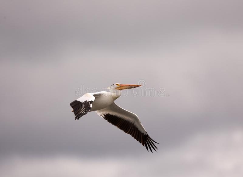 American White Pelican soars through gray spring skies. Over Big Stone lake in western MN stock photos