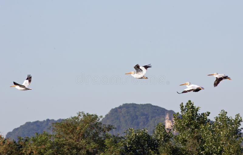 American White Pelicans fly along the Upper Mississippi Bluffs royalty free stock photography