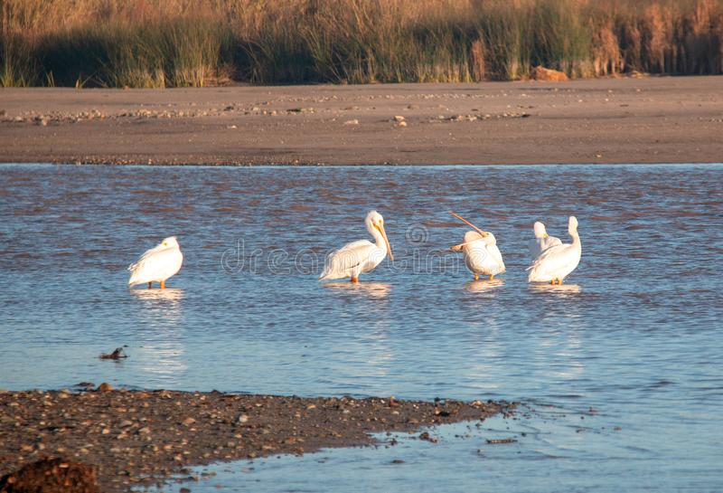 American White Pelicans in the Santa Clara river at McGrath State Park on the Pacific coast at Ventura California USA. American White Pelicans in the Santa Clara stock photos