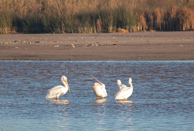 American White Pelican opening his throat pouch in the Santa Clara river at Ventura California USA. American White Pelican opening his throat pouch in the Santa stock image