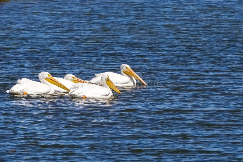 American white pelicans searching for food, Baylands Park, Palo Alto, San Francisco bay area, California stock image