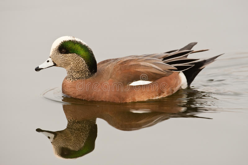 Download American Wigeon stock image. Image of male, iridescent - 17605509