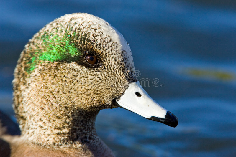 Download American Wigeon stock photo. Image of duck, bill, american - 7822128