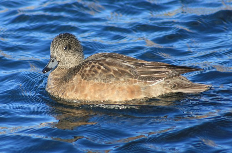 Download American Wigeon female stock image. Image of blue, fowl - 8269811