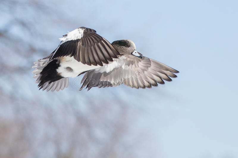 Download American Wigeon in flight stock image. Image of park - 38677565