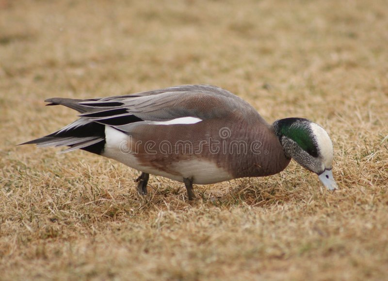 American Wigeon male
