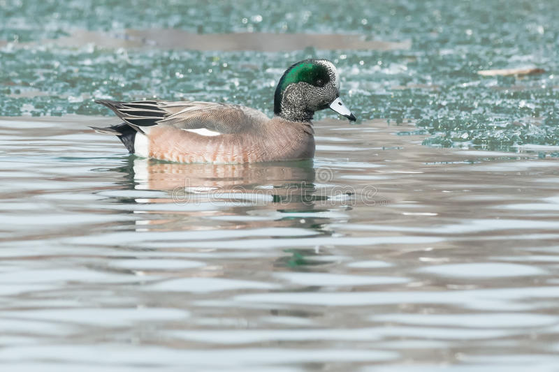 American Wigeon. Male American Wigeon swimming in the icy water royalty free stock images