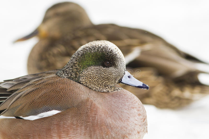 American Wigeon In Winter Stock Photo