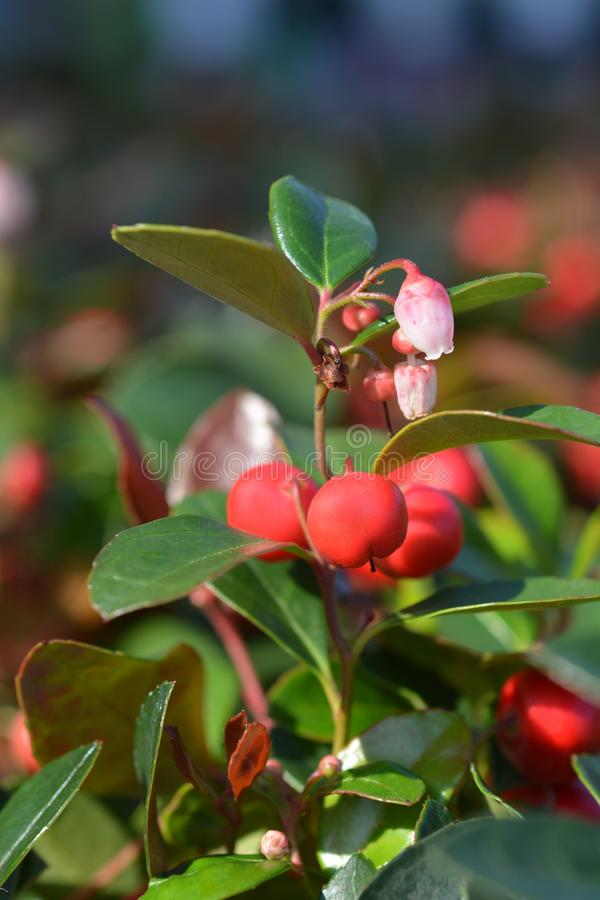 American wintergreen. Flowers and berries - Latin name - Gaultheria procumbens stock photos