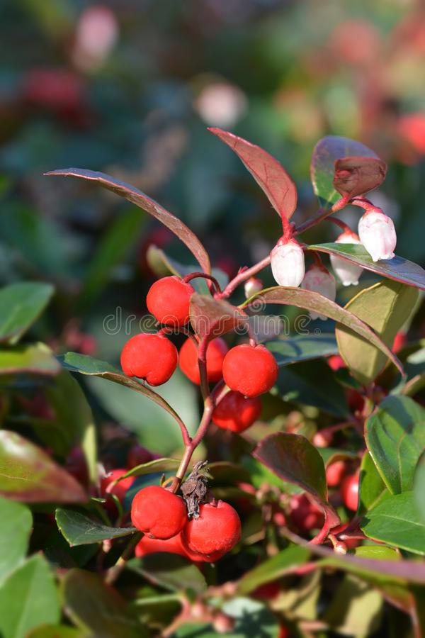 American wintergreen. Red berries and white flowers - Latin name - Gaultheria procumbens stock images