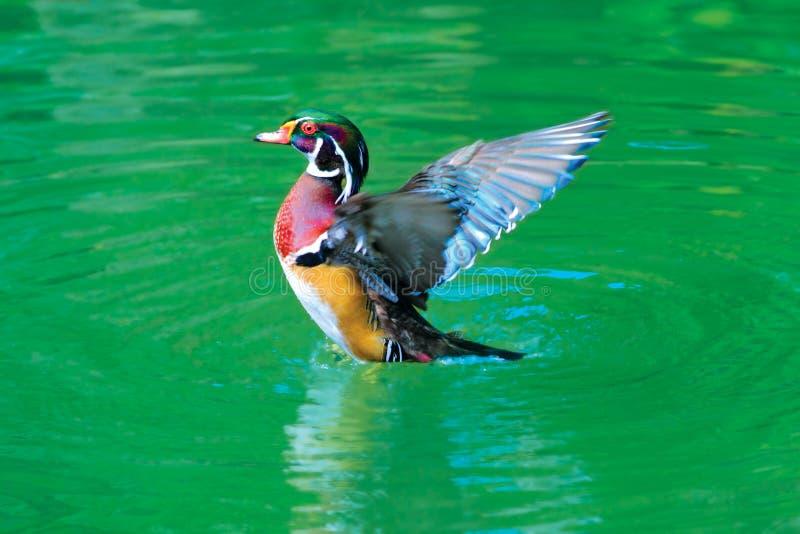 Download American Wood Duck stock image. Image of outside, beak - 7828209