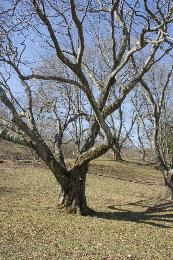 American yellowwood at the Arnold Arboretum in early spring royalty free stock photos