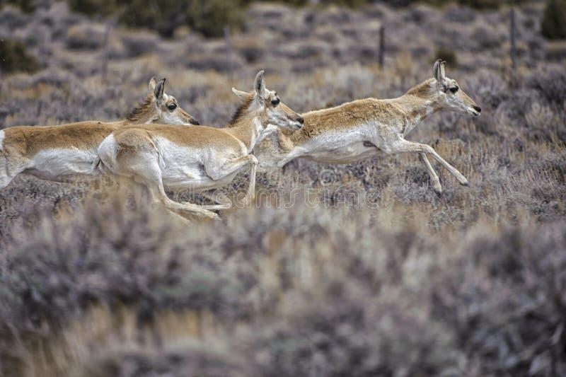 americana antilopantilocaprapronghorn fotografering för bildbyråer