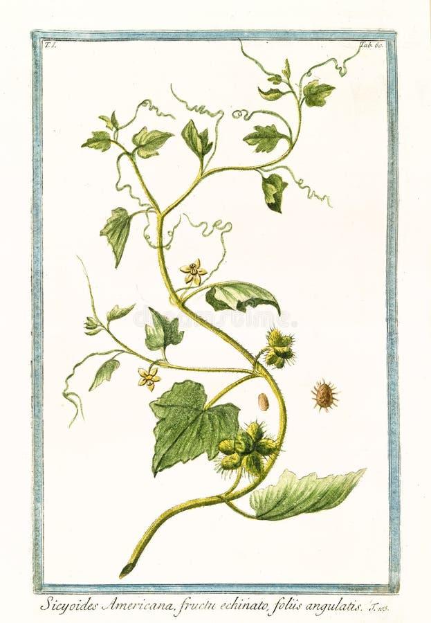 Americana-Cissus sicyoides Sicyoides stock abbildung