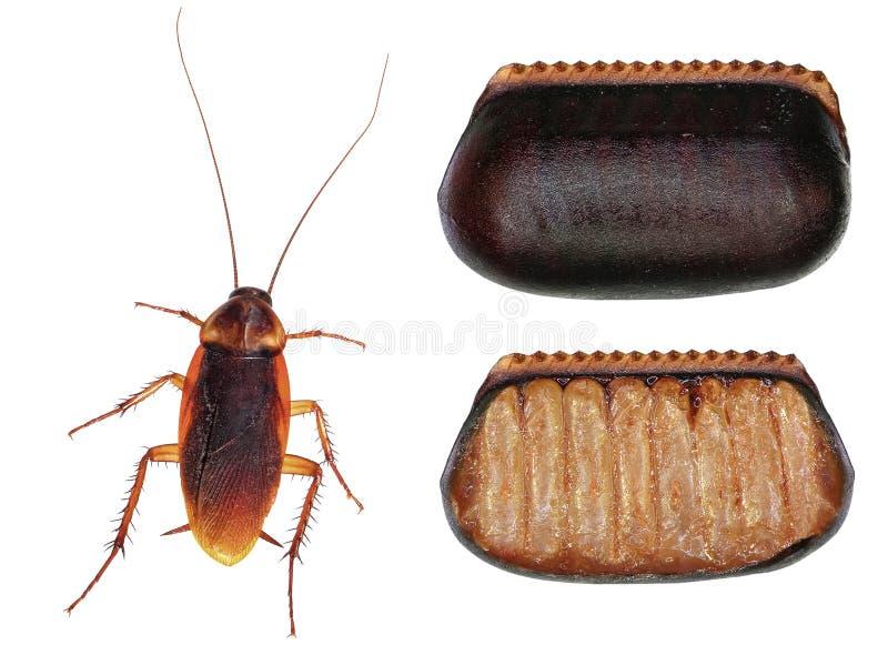 Americana Periplaneta för amerikansk kackerlacka royaltyfri foto