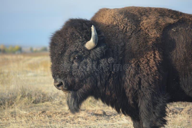 Americano Bison Buffalo en la pradera foto de archivo