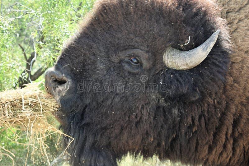 Americano Bison Close Up Eating imagen de archivo