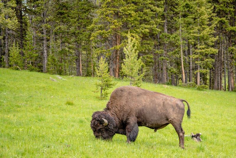 Americano Bison Feeding nei pascoli immagini stock