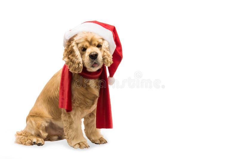 Americano cocker spaniel con el casquillo del ` s de Papá Noel foto de archivo libre de regalías