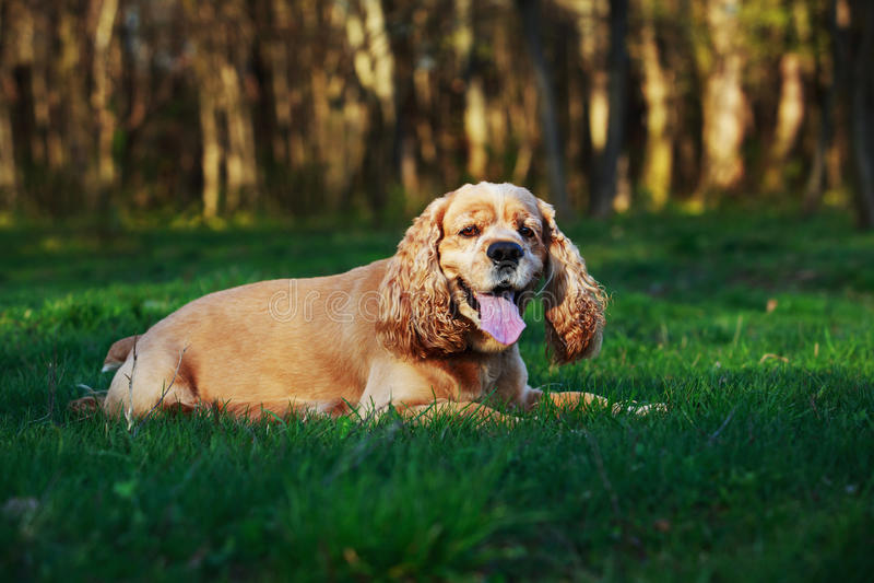 Americano cocker spaniel da raça do cão fotografia de stock