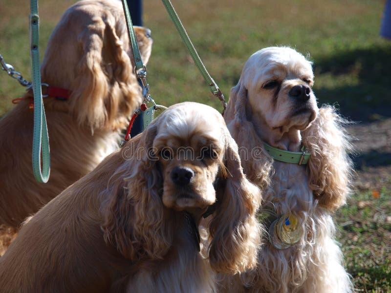 Americano cocker spaniel de la raza del perro imágenes de archivo libres de regalías