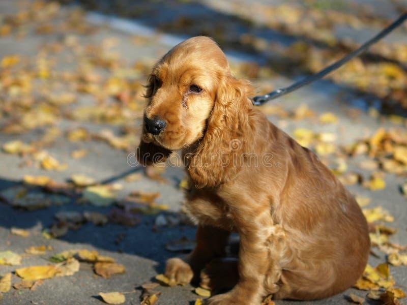 Americano cocker spaniel de la raza del perro imagen de archivo