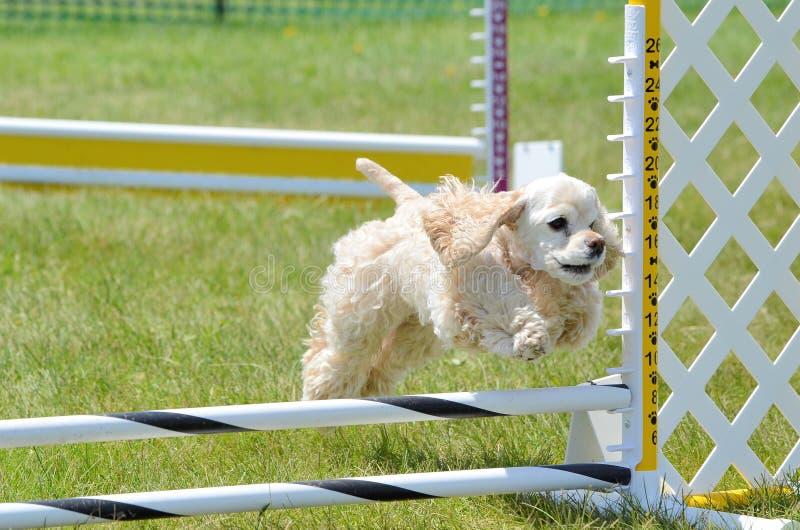 Americano cocker spaniel em uma experimentação da agilidade do cão imagem de stock royalty free