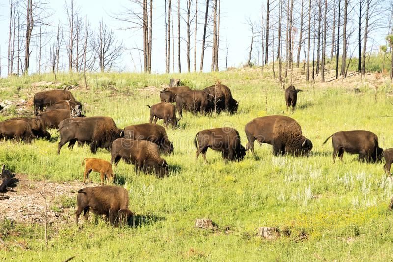 ` Americano del búfalo del ` del bisonte en Dakota del Sur foto de archivo libre de regalías