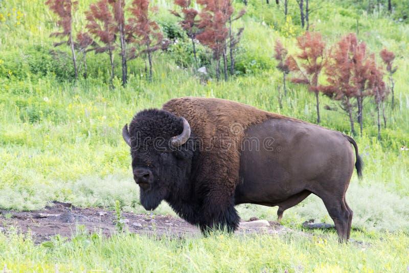 ` Americano del búfalo del ` del bisonte en Dakota del Sur fotos de archivo libres de regalías